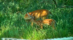 Mother deer and spotted fawn 02 Stock Footage
