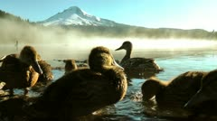Ducklings at trillium lake Stock Footage