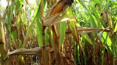 Ripe corn cob - stock footage
