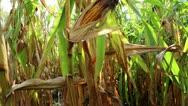 Ripe corn cob Stock Footage