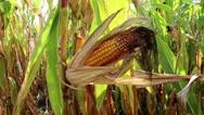 Yellow ripe corn cob in cornfield Stock Footage
