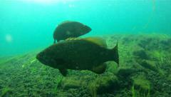 Small mouth bass Stock Footage
