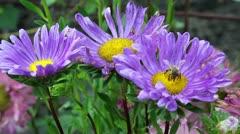 Worker bee on purple flowers Stock Footage