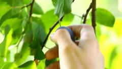 Hand picking a plum from tree Stock Footage