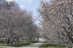 Blossoming Magnolias - stock photo