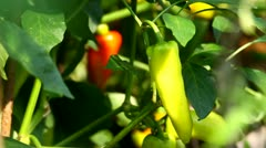 Red and green peppers growing Stock Footage