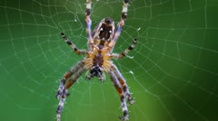 Spider On Web - stock footage