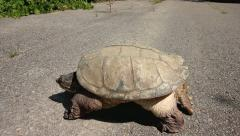 Snapping Turtle (Chelydra serpentina) Walks Out Onto Road and Lays Down. Stock Footage