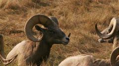 Bighorn Sheep Stock Footage