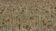 Stock Video Footage of Sunflower field affected by drought