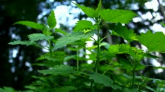 Nettles growing close-up (cold colors, early morning freshness) Stock Footage