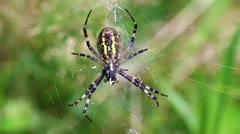 Wasp Spider - Argiope bruennichi - detail Stock Footage