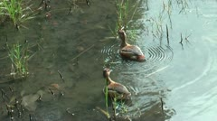 TWO WILD DUCKS ON TROPICAL PONDS - stock footage