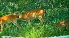 Wild deer, doe and spotted fawn Stock Footage