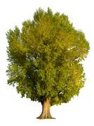 poplar tree isolation - stock photo