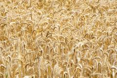 Stock Photo of wheat field, clouse up