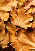 Autumn maple leaf on leaves background Stock Photos