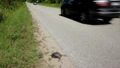 Endangered Blanding's Turtle Walks on Road as Cars Go By. - stock footage