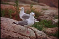Stock Video Footage of Close up of seagulls, Acadia National Park
