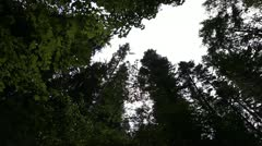 Very High Trees Coniferous Forest Stock Footage
