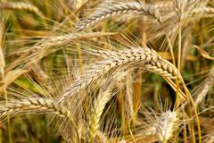wheat field, clouse up - stock photo