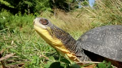 An Endangered Blanding's Turtle Extends its Long Neck and Looks Around. Stock Footage