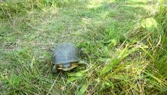 Endangered Blanding's Turtle Walking Across Frame. Stock Footage