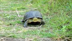 An Endangered Blanding's Turtle Walking Toward the Camera. - stock footage