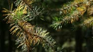 Stock Video Footage of pine branch