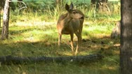 Stock Video Footage of Deer eating in an Oregon forest