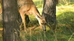 Deer eating in an Oregon forest - stock footage