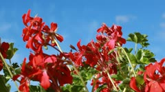 Pelargonium on a blue sky background Stock Footage