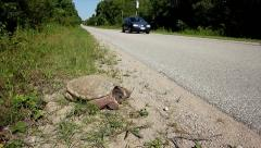 Snapping Turtle (Chelydra serpentina) on road as cars go by. Stock Footage