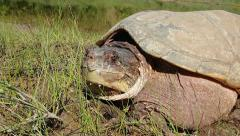 A Snapping Turtle Rests and Looks at Camera in Ontario, Canada. Stock Footage