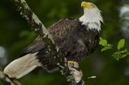 Stock Photo of Bald Eagle