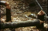 Pine trees felled by beavers, broken and gnawed, Mount Rainer National Park Stock Footage