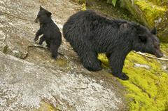 Black Bear w/cub Stock Photos