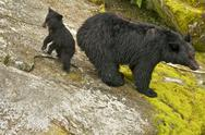 Stock Photo of Black Bear w/cub