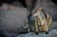 Stock Photo of yellow footed rock wallaby with joey sitting on a rock.