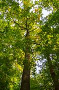 two tall trees as seen from below - stock photo