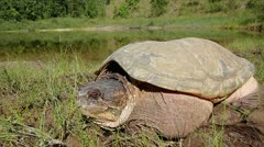 A Snapping Turtle Looks Around on the Shore of a Pond in Canada. Stock Footage