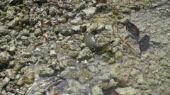 Stone Crab on the Shore Florida Keys Stock Footage