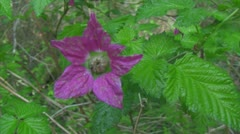 Salmonberry blossom in Oregon's forest Stock Footage