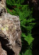 Stock Photo of Rock Ferns