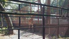 Giraffe living in captivity in zoo Stock Footage