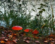 fly-agaric in the forest - stock photo
