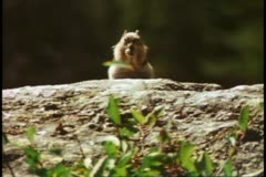 Close up of chipmunk munching, standing up, humorous, Grand Teton National Park - stock footage