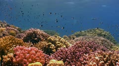 Colorful Fish on Vibrant Coral Reef, static scene, Red sea - stock footage