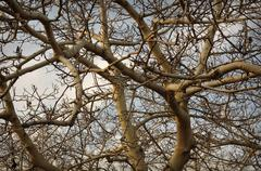 almond tree - stock photo