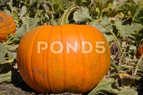 Stock photo of large pumpkin in patch